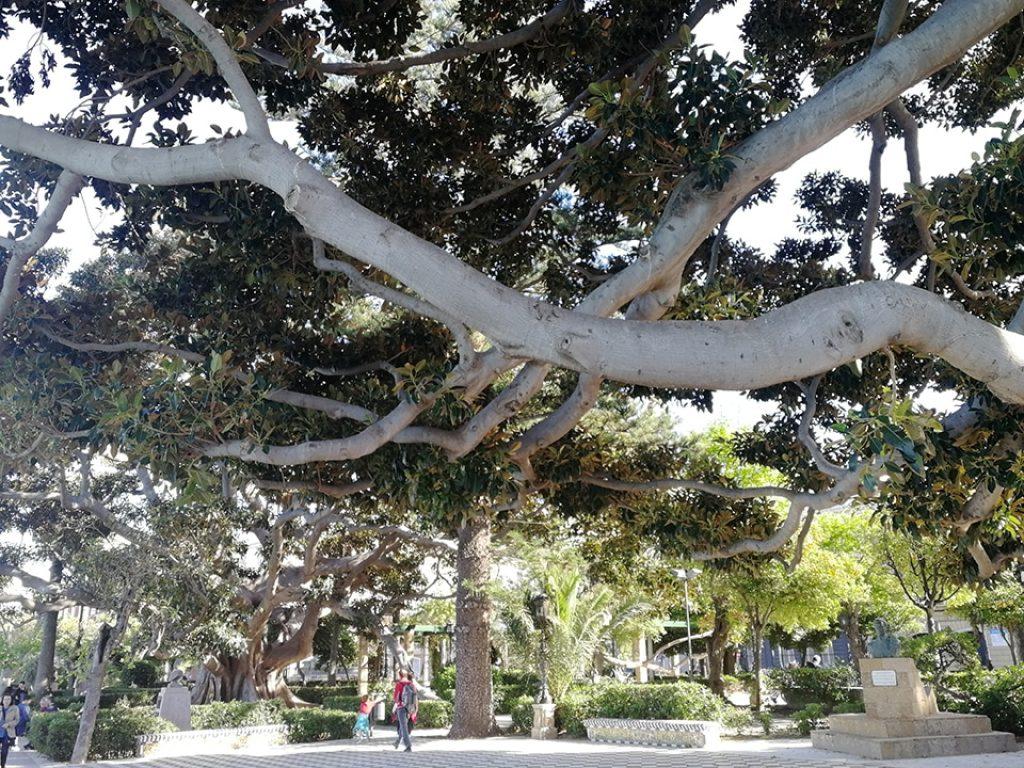 Ficus de la Alameda de Apodaca de Cádiz, variedad Macrophylla