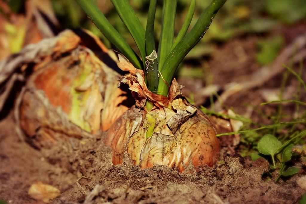 Cebollas brotando en la tierra