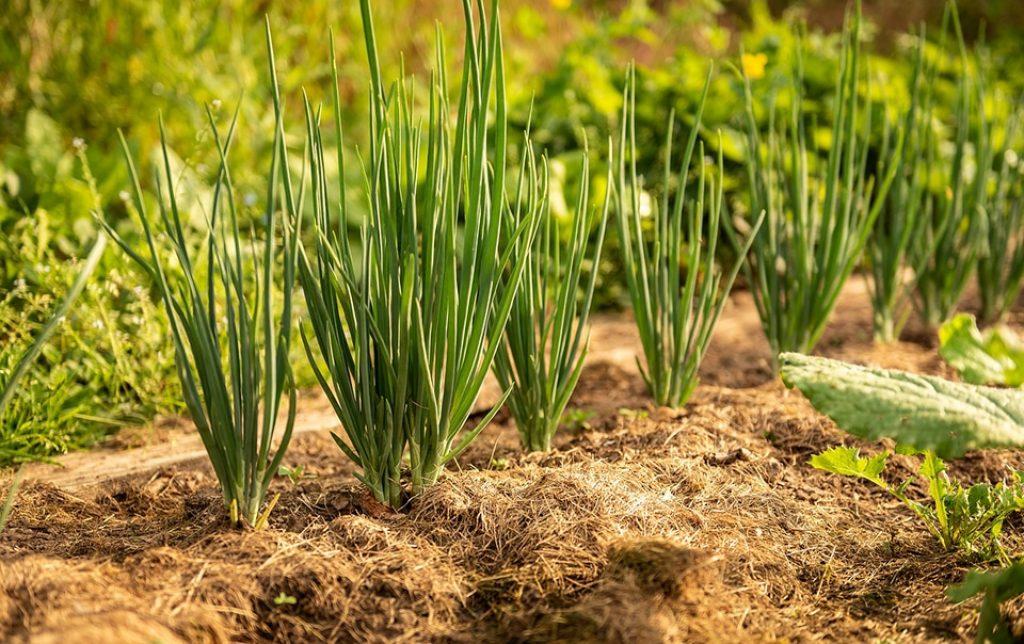 Brotes de cebolla creciendo sobre tierra fértil y bien abonada