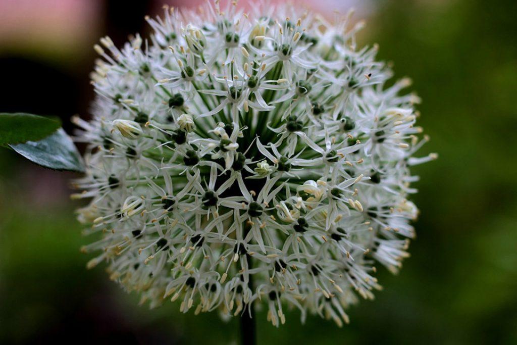 Floración de la cebolla. Un pompón de hermosas florecillas blancas
