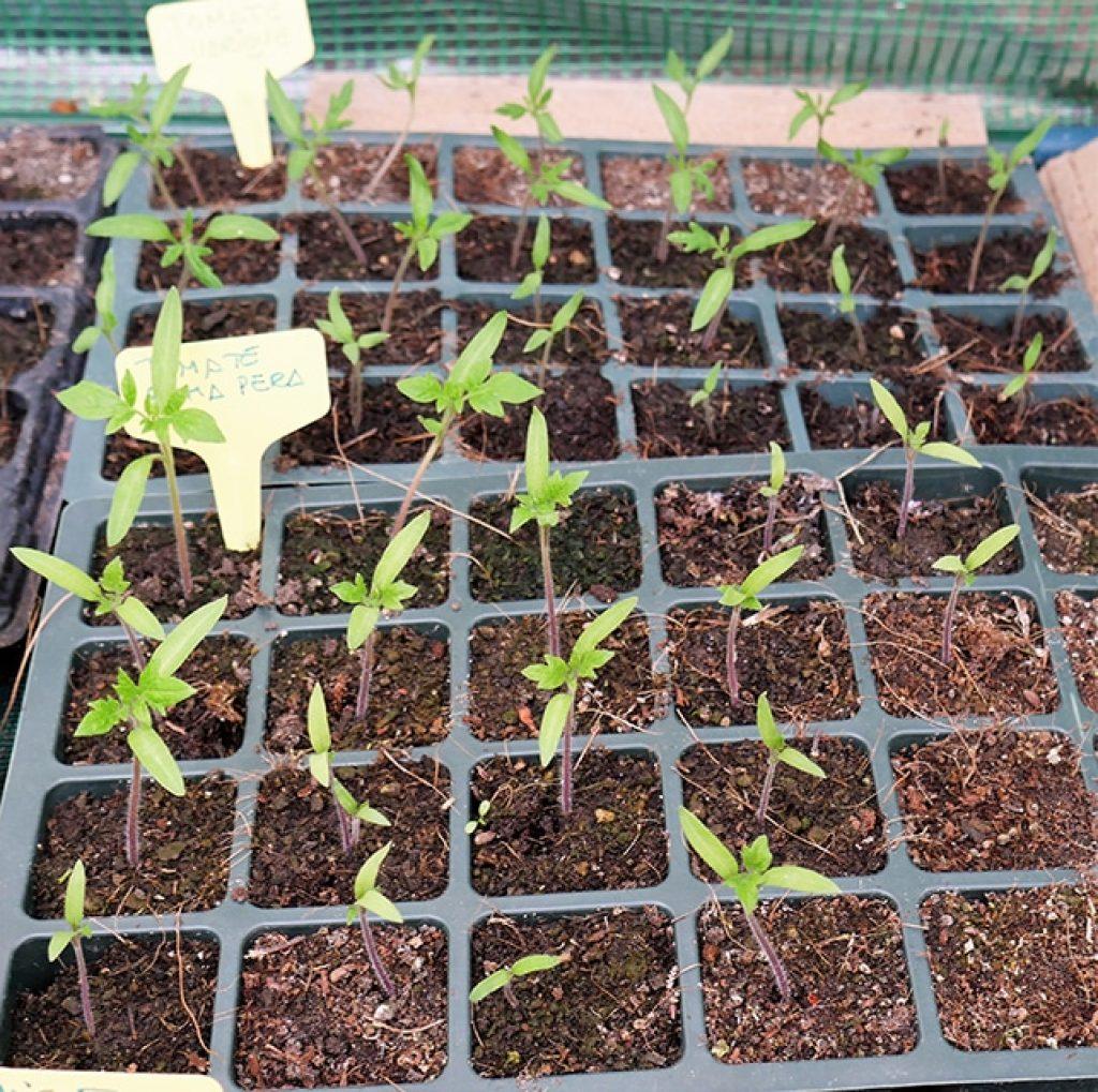 Tomateras creciendo en semillero