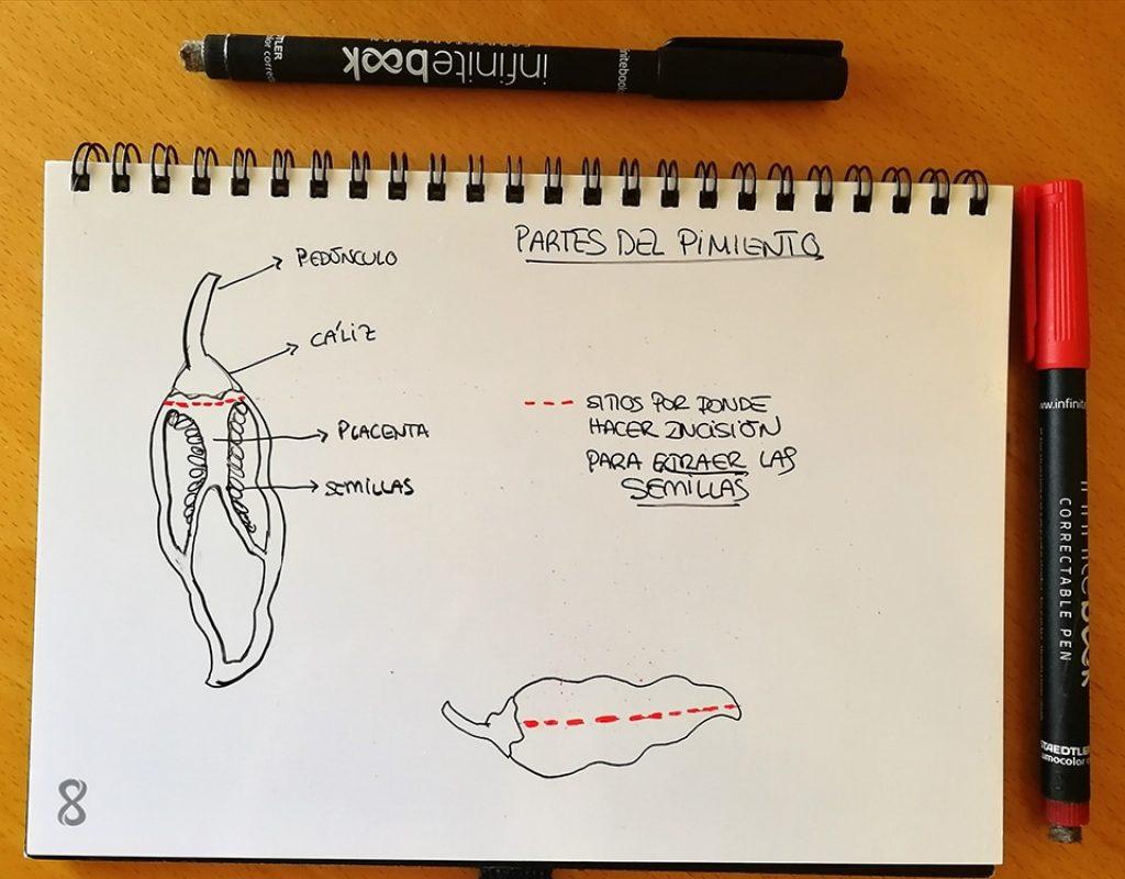 Dibujo que muestra la sección de un pimiento con sus partes y dónde realizar la incisión para extraer las semillas
